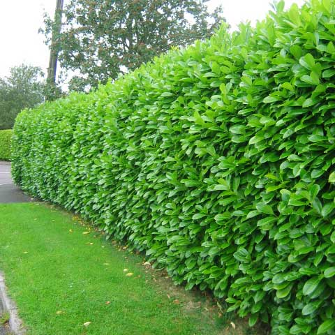 garden hedges laurel hedge ITCCVDW
