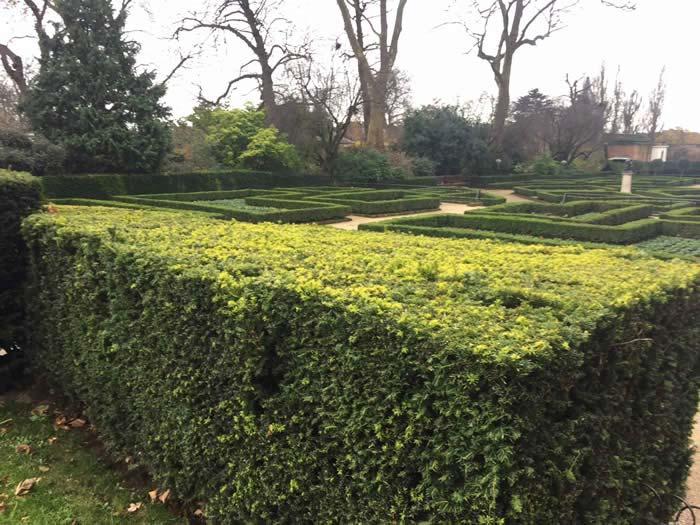 garden hedges native yew, one of the best hedges for wildlife gardening UVAYAPE
