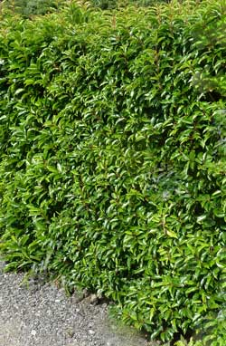 garden hedges portugal laurel hedge JMATLPH