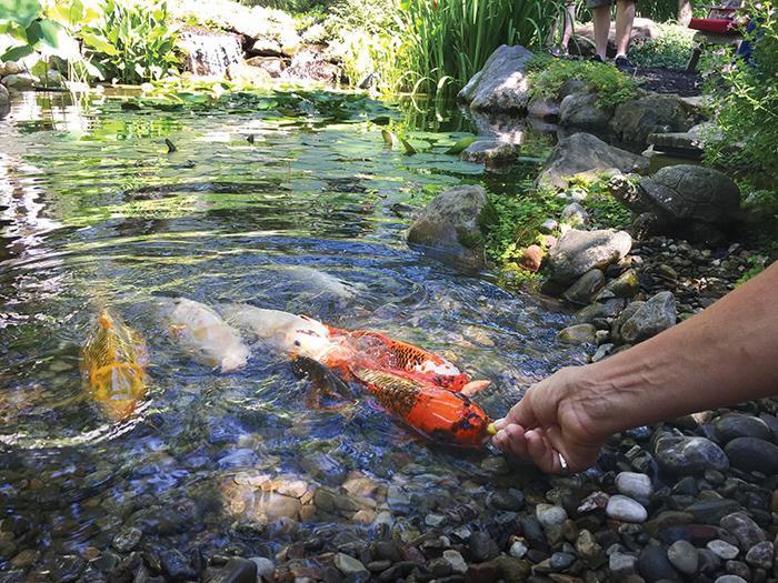 garden ponds koi shallow water CXJZSCE