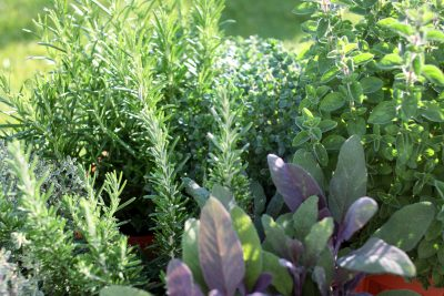 herb gardens growing herbs at home: making an